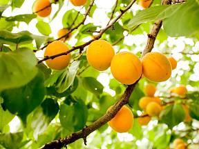 Zralé meruňky jsou zbarvené oranžově.