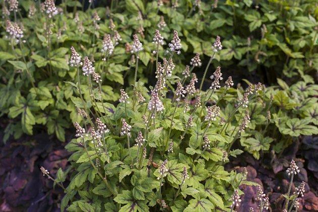 mitrovnička srdcolistá (Tiarella cordifolia)