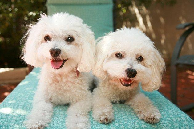 Dvojci bišonků (Bichon Frisé) si leckdo snadno představí jako oblíbenou terapeutickou dvojici.