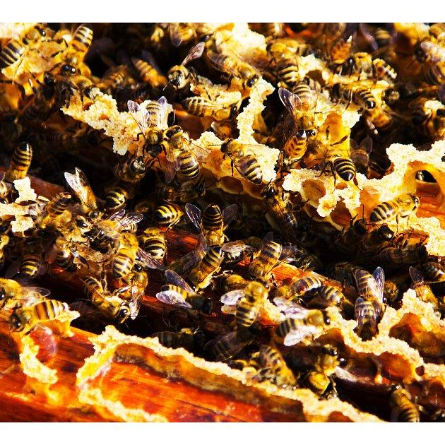 Propolis dokáže včely zachránit před nákazou.