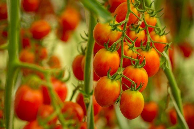 Rajčata je třeba chránit před plísní, aby hojně plodila