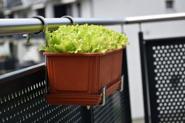 Na severním balkoně si vypěstujete křupavý salát.
