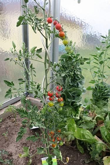 Jako oporu pro rajčata jsme použili kovovou spirálu.