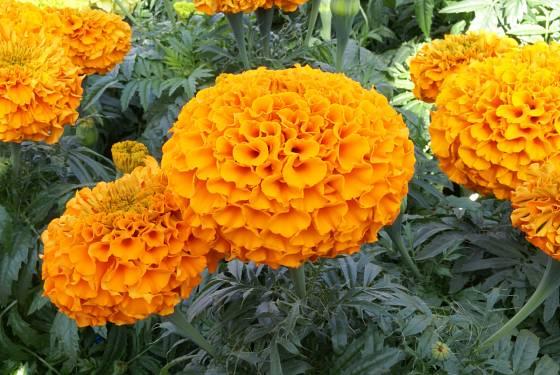 Aksamitník vzpřímený (Tagetes erecta), odrůda Discovery Orange