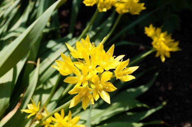 Allium Moly,  okrasný česnek má krásná květenství.