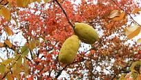 Plody cedrátu zůstávají na větvích i po opadu listů.