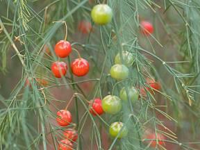 Plody chřestu se v době zralosti zbarvují do červena.