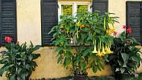 Kany a durmanovec můžeme pěstovat v létě venku v nádobách.