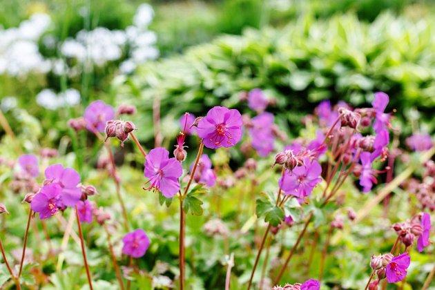 Geranium cantabrigience Karmina