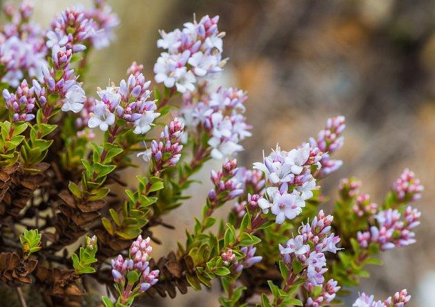 Jemné narůžovělé květy podtrhnou přirozenou geometrii rostlin