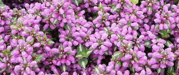 Zahradní kultivary hluchavek mají ozdobné listy a bohatě kvetou