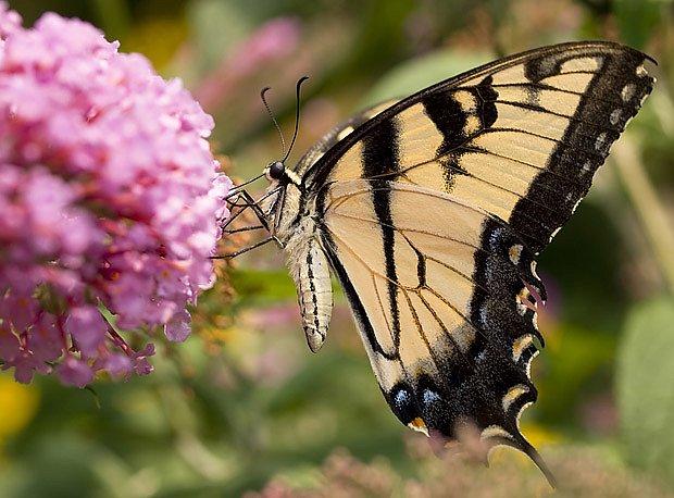 Komule láká motýly z širokého okolí