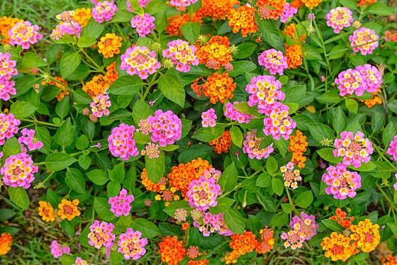 Lantana neboli libora měňavá nabídne mnoho různých barev a odolnost vůči suchu.