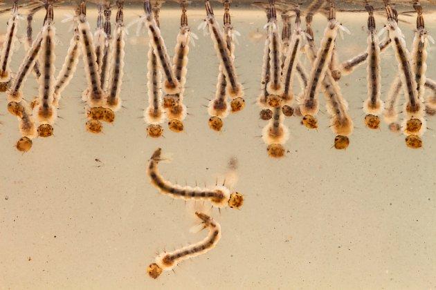Larvy komárů dýchají u vodní hladiny