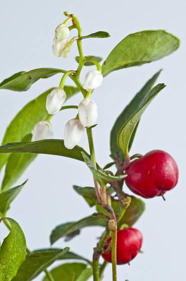 Plod a květ společně na keři libavky polehlé