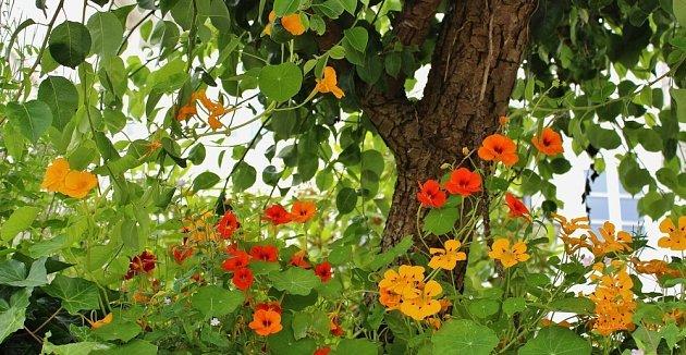 Podsadba z lichořeřišnice pěkně vypadá a pomáhá strom chránit proti nevítaným hostům