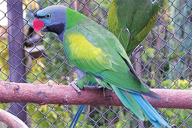 Papoušek z Číny a Tibetu