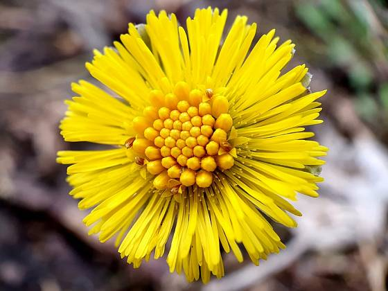 """Květ, správně květenství, úbor podbělu vypadá trochu jako malý """"květ"""" pampelišky."""