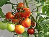 Některá zelená rajčata utrhněte, protože rostlině tak ulevíte.