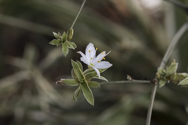 Zelenec má drobounkých bílé kvítky s šesti okvětními plátky.