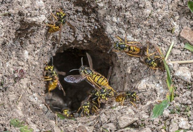 Vosí hnízdo v zemi je často větší problém, zvlášť když se po zahradě pohybují děti.