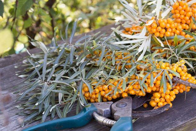 Plody rakytníku můžeme sklízet s celými větvičkami