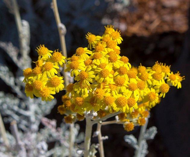 V době kvetení se doporučují obklady z čerstvé rostliny