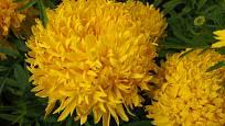 Aksamitník vzpřímený (Tagetes erecta), odrůda Fantastic Yellow