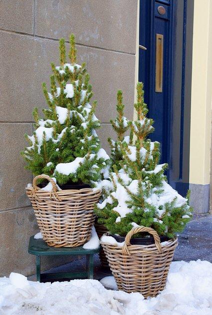 Sníh jehličnanům nevadí, náhlé změny teplot ano