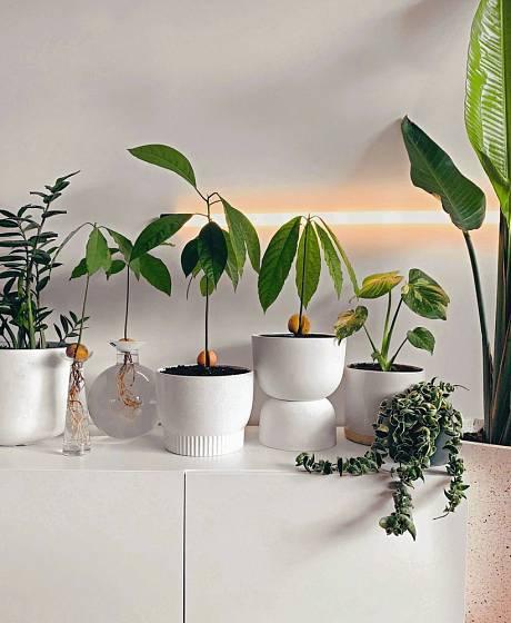 Dostatek světla může klíčícím avokádům zajistit i umělé osvětlení pro rostliny