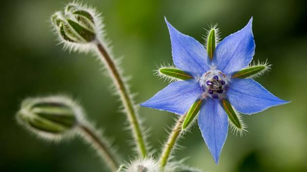 Kolem kvetoucího brutnáku se nedá na zahradě projít bez povšimnutí