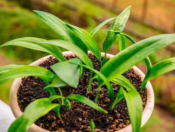 Česnek medvědí (Allium ursinum) můžeme na jaře koupit v zahradnictví.