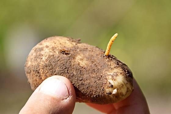 Larvy kovaříků, drátovci, provrtávají a znehodnocují brambory