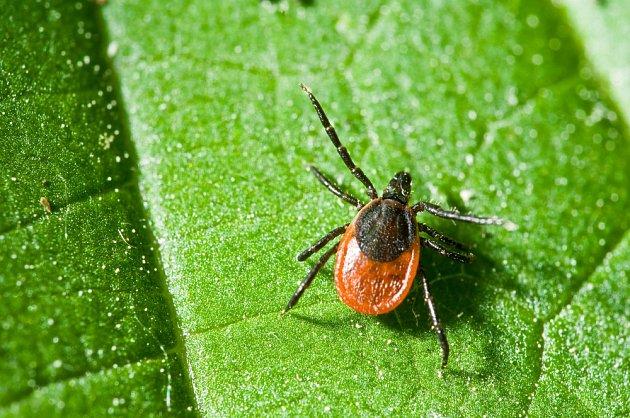Klíště obecné (Ixodes ricinus)