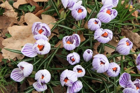 Listí ochrání výsadby cibulovin, na jaře si cestu snadno prorazí