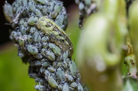 larva pestřenky rybízové, Syrphus ribesii, hoduje na mšicích