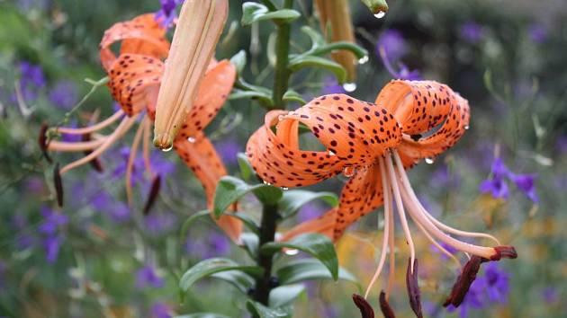 lilie tygrovaná (Lilium tygrinum)