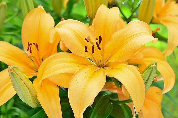 Lilie lze pěstovat v nejrůznějších barvách