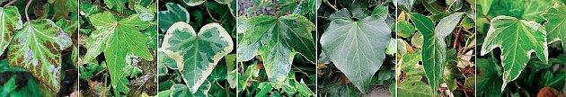 Listy různých kultivarů břečťanu mají různý tvar i zbarvení