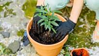 Mladé rostliny oleandru přesazujeme nejlépe každoročně.
