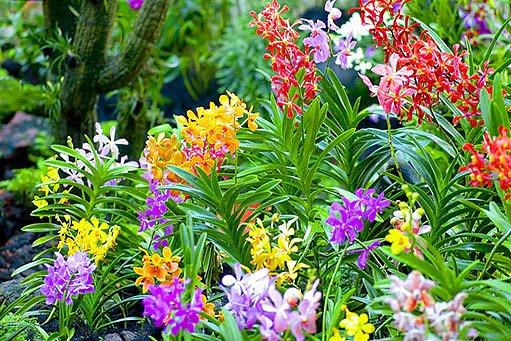 barevné orchideje v Singapurské botanické zahradě