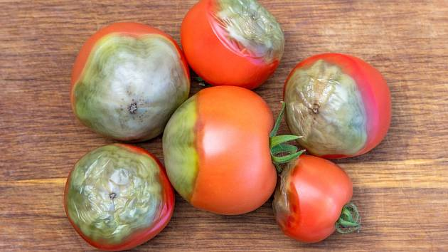 Plody rajčat s plísní