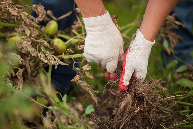 Likvidace rostlin rajčat napadených plísní