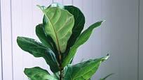 Pokojové rostliny jako fíkus lyrový jsou díky svým obrovským listům opravdu nepřehlédnutelné.