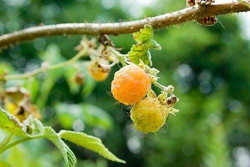 Malin existuje na světě více než 200 druhů. Jejich plody mají různé barvy, od červené a zlaté až k tmavě fialové.