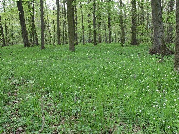 Ptačinec roste v lesích, polích i zahradách.