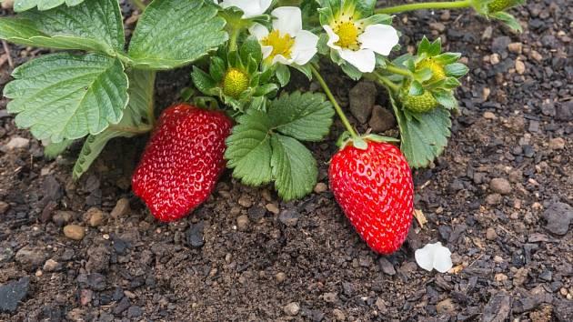 Jahody jsou při pěstování náročné, proto se vyplatí pěstovat je společně s dalšími rostlinami