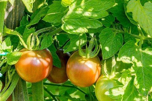 Pardubický zahradník František Hlubocký zastává názor, že je lepší nenechávat rajčata na keřích až do úplného zčervenání.