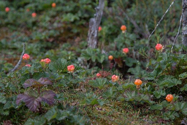 ostružiník moruška (Rubus chamaemorus)