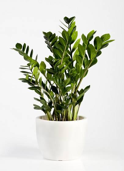 Zamiokulkas byl původně rostlinou známou z kanceláří, jeho půvab jej dovedl i do domácností.